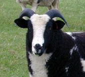 Nutwood Isabella - winner of several breed championships as a shearling on 2000